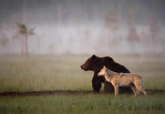 This-wolf-and-bear-pair-were-documented-travelling-hunting-and-sharing-food-together-for-10-days.jpg